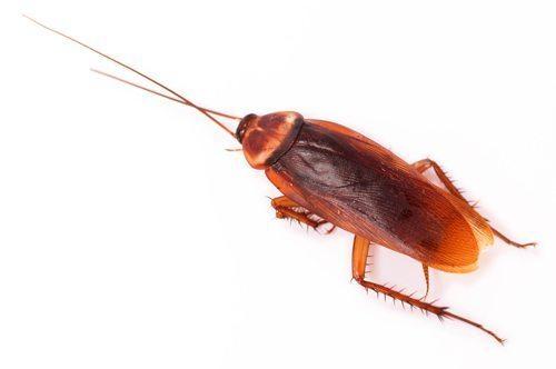 Cockroach control ballina