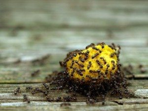 Black ants attracted to fruits and sugar - Ballina Pest Control