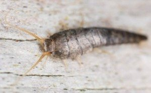 Silverfish Northern Rivers