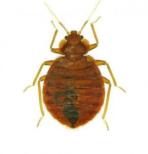 Bed Bug - Byron Bay Pest Control