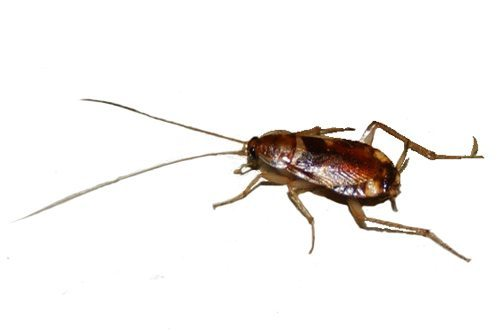 Brown-banded Cockroach
