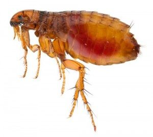Macro image of common flea - Ballina Pest Control