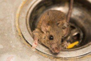 rat in sink, ballina pest control