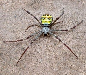 St Andrews Cross Spider - Byron Pest Control