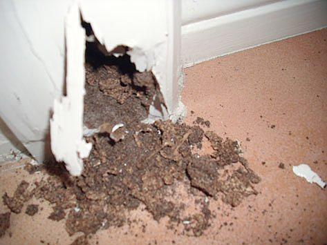 Active Termites Lismore