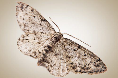 Pantry moths moth larvae active pest management for Pantry moths