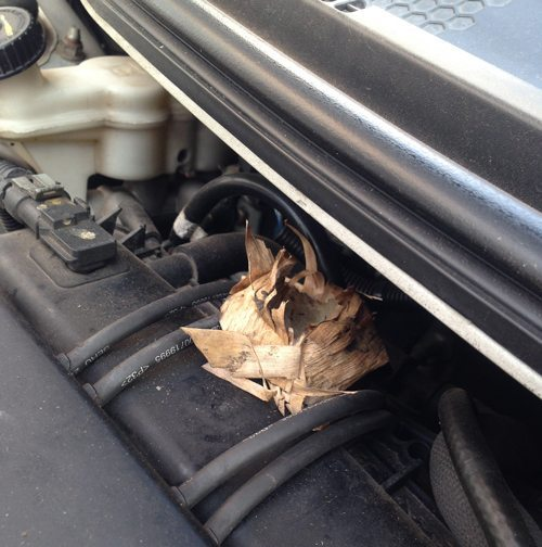 Rat-nesting-in-car-engines-Lismore Pest Control