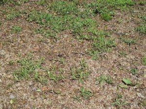 lawn-grub_pest-control-lennox-head
