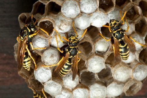 Paper wasps nesting under eaves