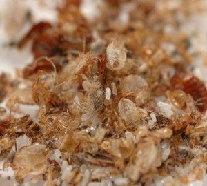 Bed-bug-waste-and-eggs - Byron Bay Pest Control