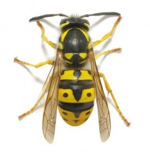 European-wasp-Lismore Pest Control