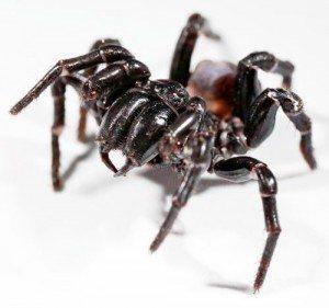 funnel web spider pest control lismore