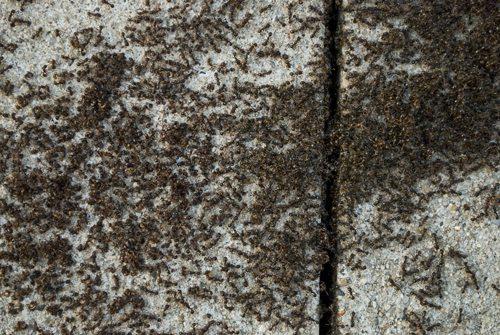 Paver Ants