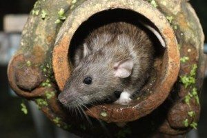 Rat in drain pipe, Pest Control Byron Bay
