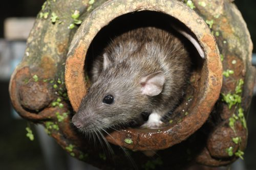 Rat in drainage pipe, Pest Control Byron Bay