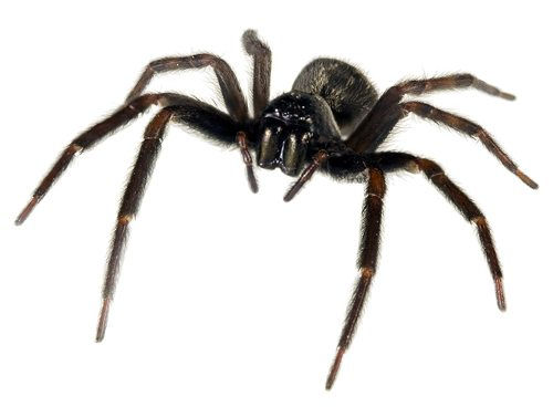 Black & Grey House Spider