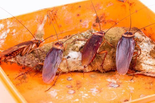 Cockroaches are associated with food poisoning and asthma