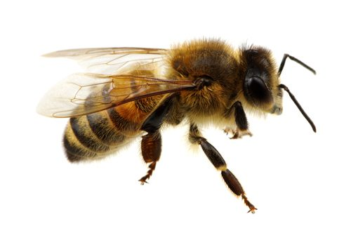 Macro view of the honeybee - Byron Bay Pest Control