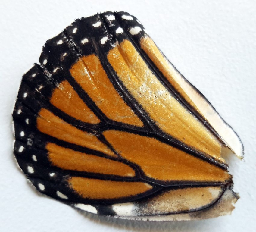Butterfly Wing_Active Pest Management (Source: Self)