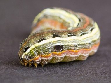 army-worm_pest-control-lennox-head